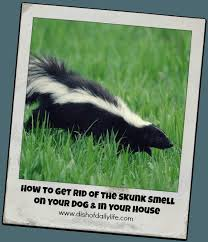 How Do You Get Rid Of Skunks In Your Backyard Best 25 Skunk Smell In House Ideas On Pinterest Skunk Smell