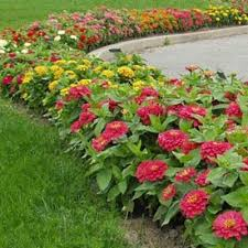 zinnia flower zinnia magellan mix f1 harris seeds