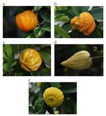 medica siege agrumed archaeology and history of citrus fruit in the
