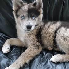 australian shepherd puppy 9 weeks 14 best chiens images on pinterest huskies puppies animals and