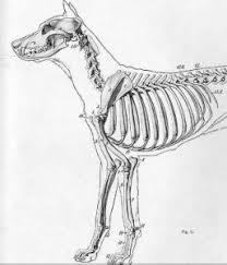 Dog Anatomy Front Leg Signs Of Dog Broken Rib Daily Dog Discoveries