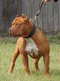 l american pitbull terrier a p b t american pit bull terrier red nose dream pets bengal serval