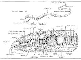 earthworm anatomy worksheet free worksheets library download and