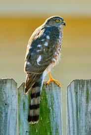 sharp shinned hawks u2013 backyard birds beware tallahassee com