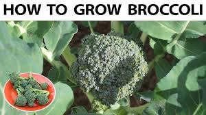 How To Grow Vegetables by How To Grow Broccoli From Seed To Harvest A Complete Guide Youtube