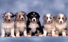 australian shepherd 2015 1488x1236px 777615 australian shepherd puppies 211 41 kb