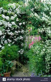 cottage garden rose arch trellis archway rosa u0027pauls himalayan