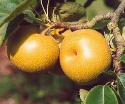 Online Fruit Trees For Sale - asian pear trees for sale buy fruit trees online