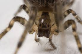 Brown Recluse Map 5 Lies About The Brown Recluse Spider