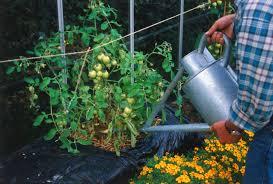 gardening picture how to start a straw bale garden