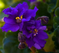 african violet grow light how to grow african violet plants