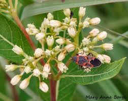 native plants in india what good is dogbane the natural web