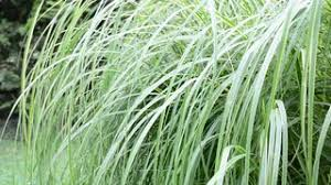 ornamental grass moving in the wind mov stock footage