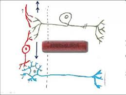 Knee Reflex Arc 2 Types Of Neurons And The Reflex Arc Youtube