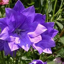 buy ornamental grass seeds acirc blue fescue acirc