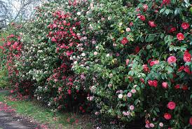 Flowering Privacy Shrubs - best camellias for faster growing privacy hedge