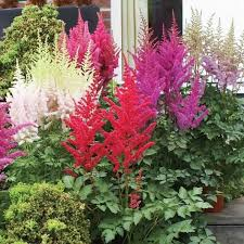 garden with ornamental grass and astilbe plants versatile and