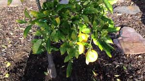 Best Fruit Tree For Backyard Backyard Fruit Tree And Citrus Garden Tour In San Diego Ca Iphone