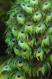 760 best beautiful peacock pictures images on pinterest peafowl