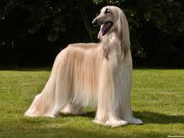 afghan hound ireland afghan hound breeders within the united states siggy u0027s paradise
