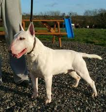 bullrossa english bull terriers home facebook