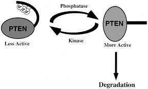 phosphorylation of the pten tail regulates protein stability and