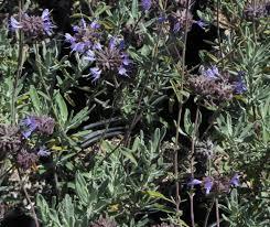 ca native plant nursery salvia clevelandii u0027aromas u0027 cleveland sage selection matilija