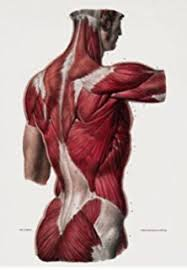 Full Body Muscle Anatomy Ml24 Vintage 1800 U0027s Medical Human Full Body Muscles Anatomical