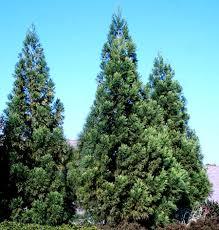 cryptomeria radicans trees superior evergreen trees for sale