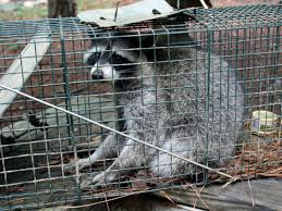 how to trap a raccoon hgtv
