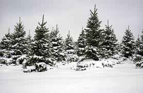 where to cut your own christmas tree in michigan this year mlive com