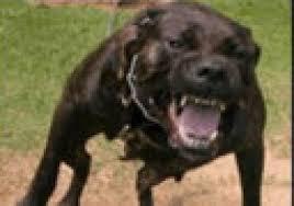 american pitbull terrier uk law new dog laws for uk doberman chat forum
