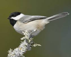 carolina chickadee audubon field guide