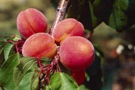 Best Fruit Trees For North Carolina - the best time to prune peach trees home guides sf gate