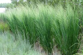 north texas native plants dig deeper into switchgrass the genus panicum