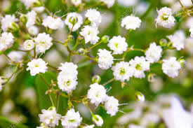 Baby Breath Flowers Baby Breath Flowers Closeup Stock Photo Picture And Royalty Free