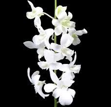 Dendrobium Orchid White Dendrobium