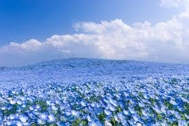 blue flowers field with blue flowers wonderful nature wallpaper