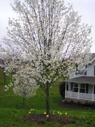 why you shouldn t plant a bradford pear tree but some do anyway