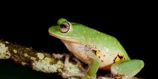 bbc earth nine beautiful new frogs found in india u0027s western ghats