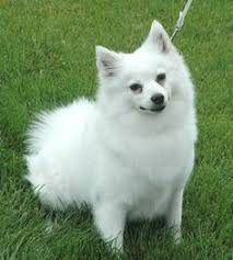 american eskimo dog toy for sale american eskimo dog puppy for sale in hammond in adn 29873 on