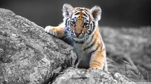 tiger wallpapers free download white cute cub animal hd desktop