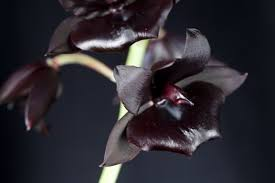 black orchid flower in search of a scent the black orchid gardenista