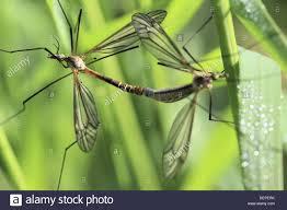mating european craneflies in grass european craneflies tipula