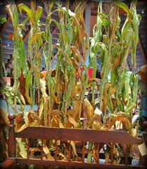 Corn Stalk Decoration Ideas Gathering Dust Antique Mall Booths
