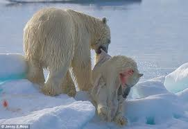 eat n eat more easy polar bears cannibal pictures prove they ll even eat cubs