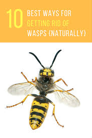 10 best ways for getting rid of wasps naturally