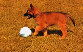 belgian sheepdog registry belgian tervuren puppies breed information u0026 puppies for sale