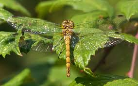 dragonfly wallpapers fun animals wiki videos pictures stories
