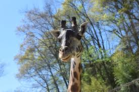 lexus parts greenville sc giraffe for rent in greenville sc